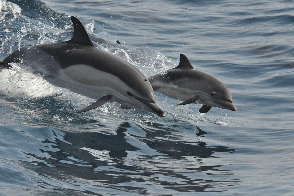 delfines
