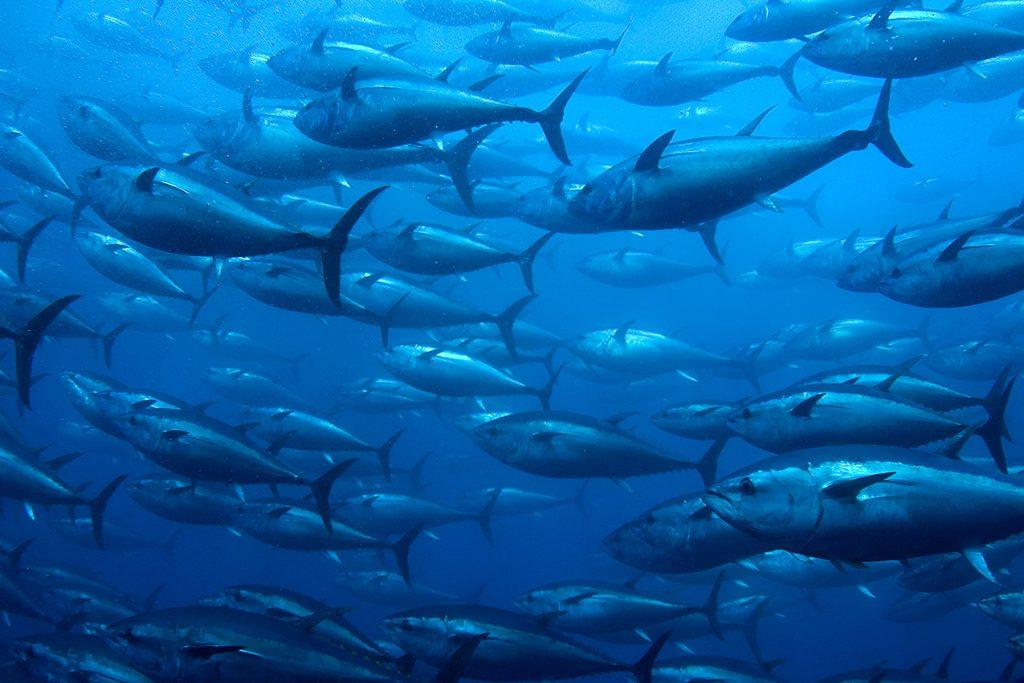 red tuna route