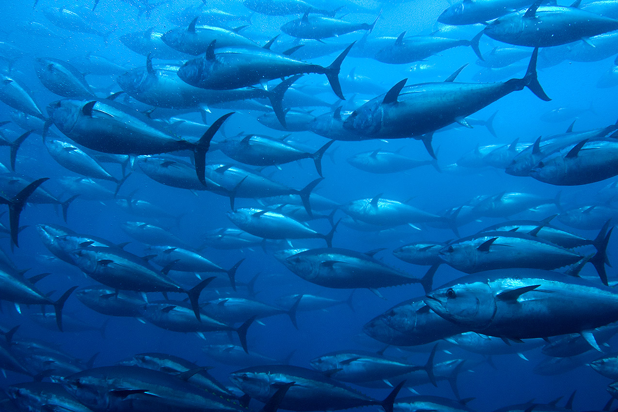 red tuna route